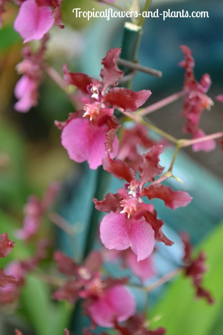 One Of My Favorite Parts About The Oncidium Orchid Is That Some Species Contain A Pleasant Sweet Fragrance Particular I Have Smells Like