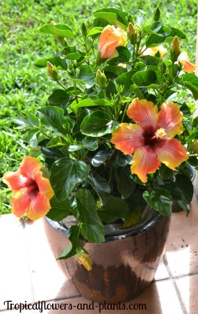 The Difference Between Tropical Hibiscus And Hardy Hibiscus