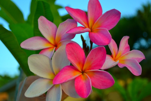 More Frangipani Information