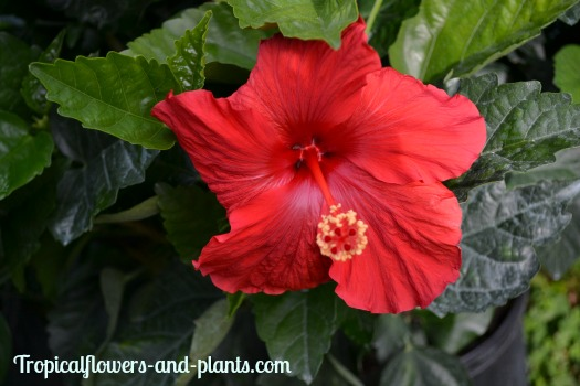 Growing Hibiscus